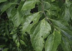 Celtis occidentalis 3